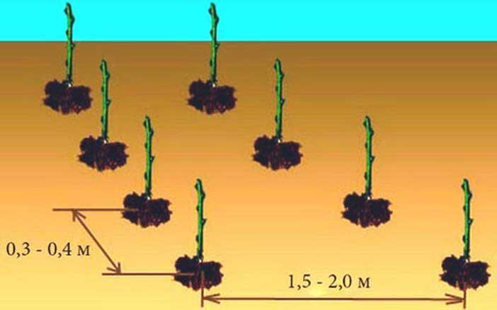 Расстояние для посадки саженцев малины