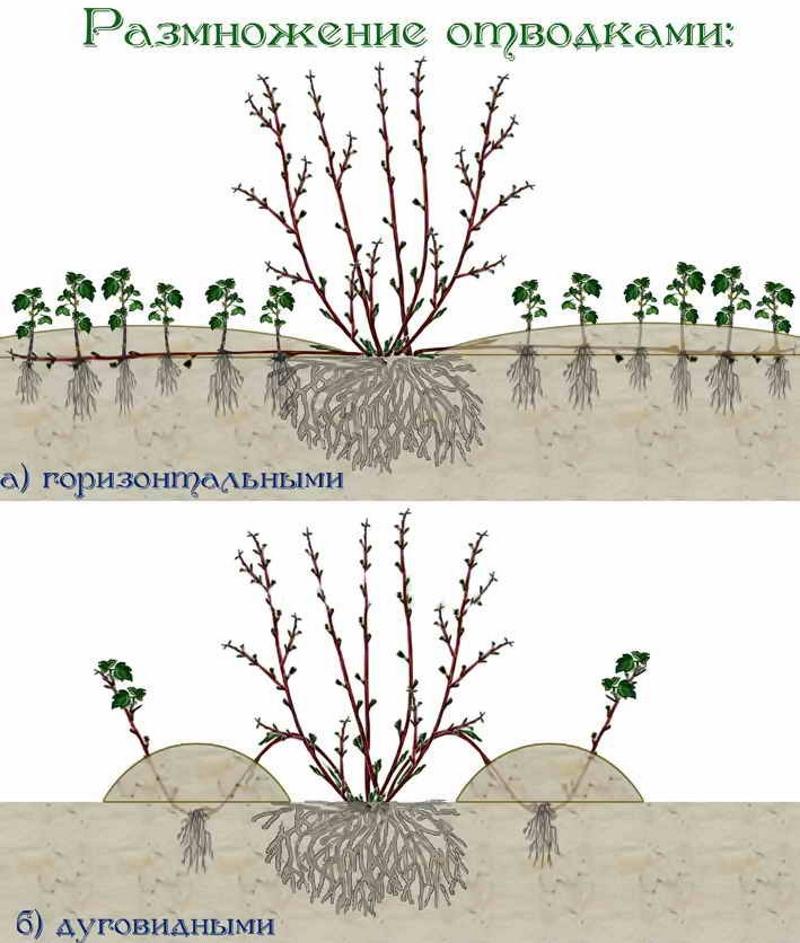 Размножение самшита отводками