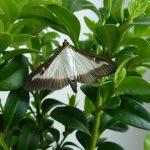 Фото 100: Вредитель бабочка самшитовая