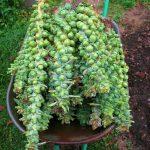 Фото 53: Сбор брюссельской капусты