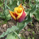 Фото 22: Сорт тюльпанов Гаворта