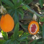 Фото 40: Плоды пассифлоры
