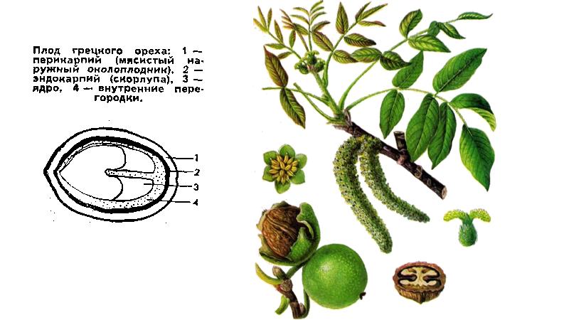 Строение плода и дерева грецкого ореха