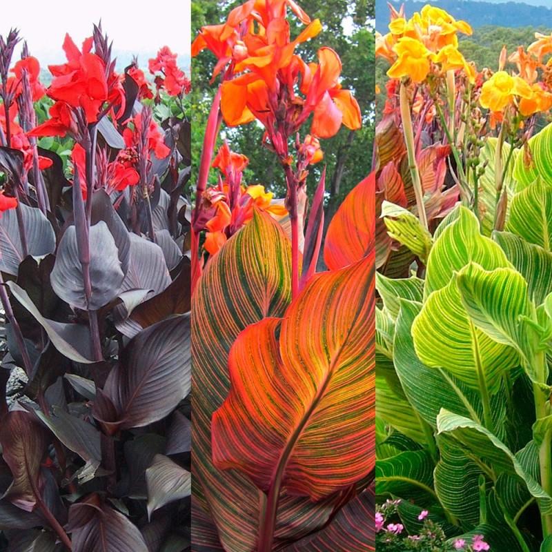Фото 29: Варианты канны тропиканы