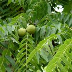 Фото 88: Зеленый грецкий орех