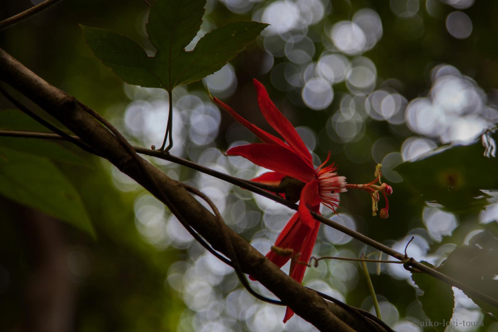 Пассифлора в джунглях