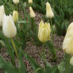Фото 30: Сорт тюльпанов Жемчужный