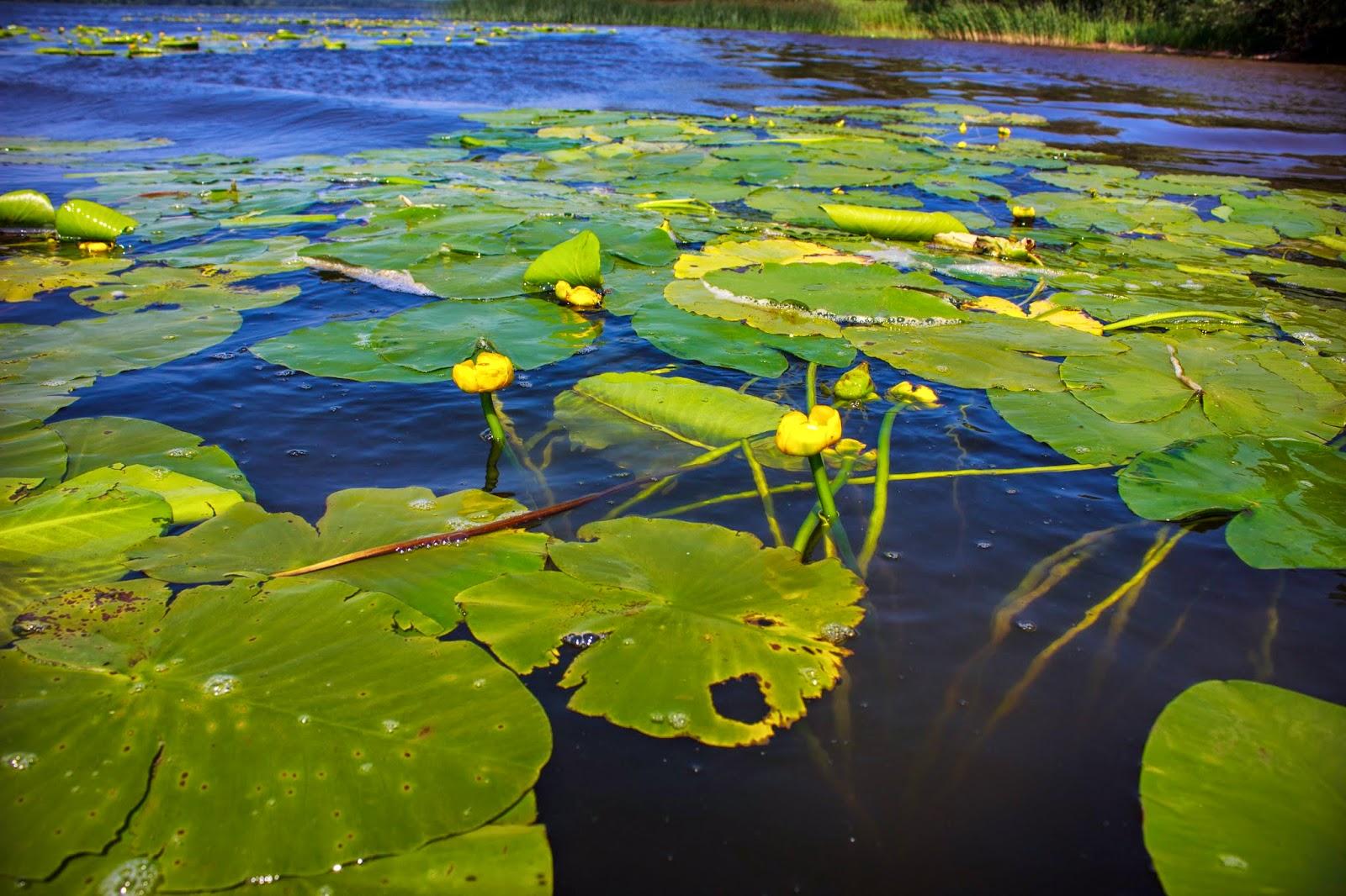 наступлении нового картинки речное растение кубышка красноярском крае распространена