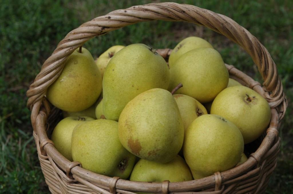 Плоды груши чижовской