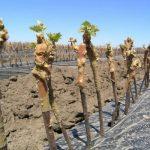 Фото 96: Rак вырастить виноград