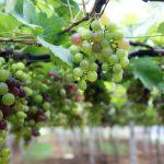 Фото 99: Как вырастить виноград из черенков