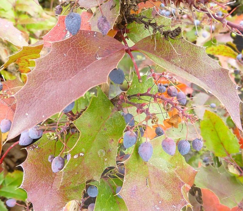 Фото 10: Mahonia Aquifolium Apollo