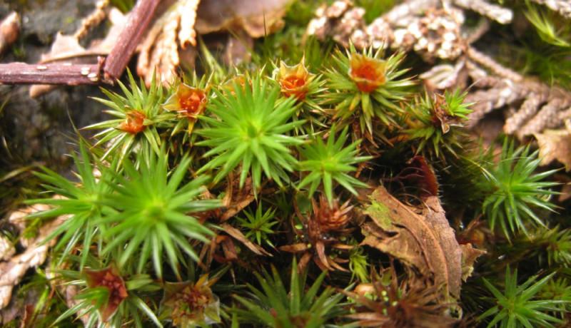 Фото 25: Polytrichum juniperinum