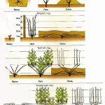 Фото 113: схема формирования винограда