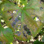 Фото 84: Альтернариоз винограда
