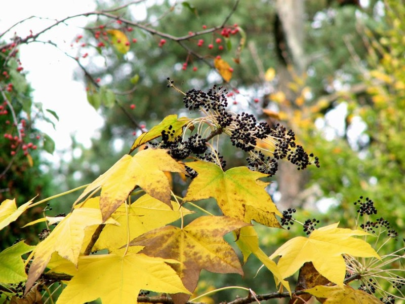 Фото 14: Аралия осенью