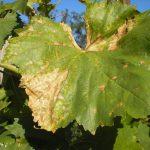 Фото 87: Бактериоз винограда
