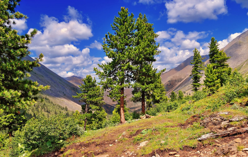 Фото 4: Дерево кедр
