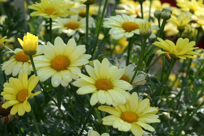 Фото 21: Желтая маргаритка