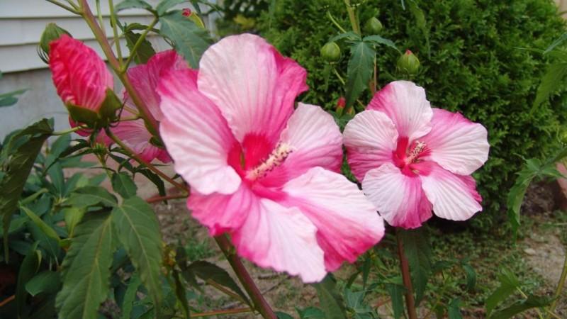 Фото 14: Гибискус болотный розовый