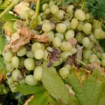 Фото 90: Иодиум или мучнистая роса винограда