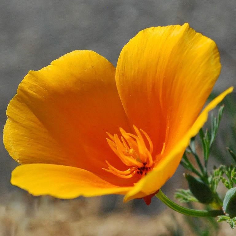 Фото 55: Цветок эшшольции на фото
