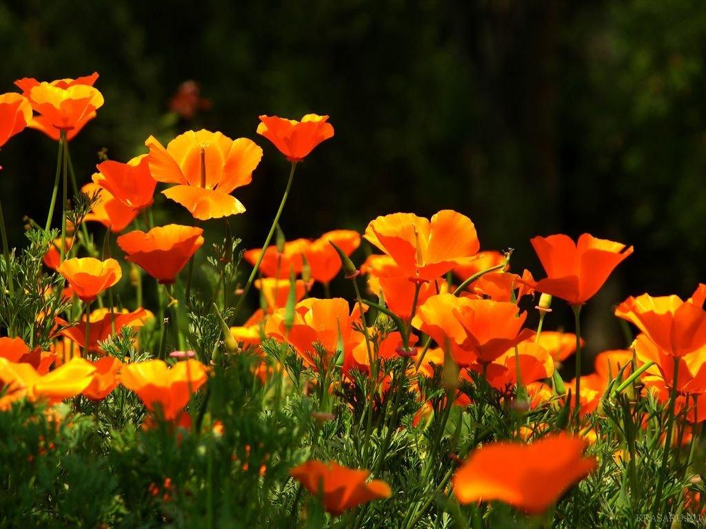 Свойста цветка эшшольции