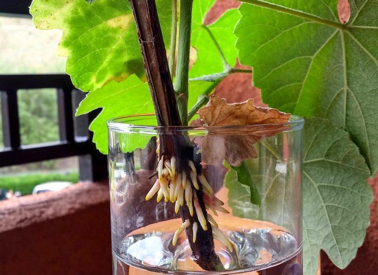Корнеобразование на черенке винограда при проращивании в воде
