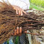 Фото 102: Когда сажать виноград черенками