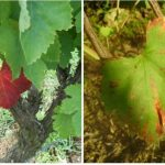 Фото 92: Краснуха винограда