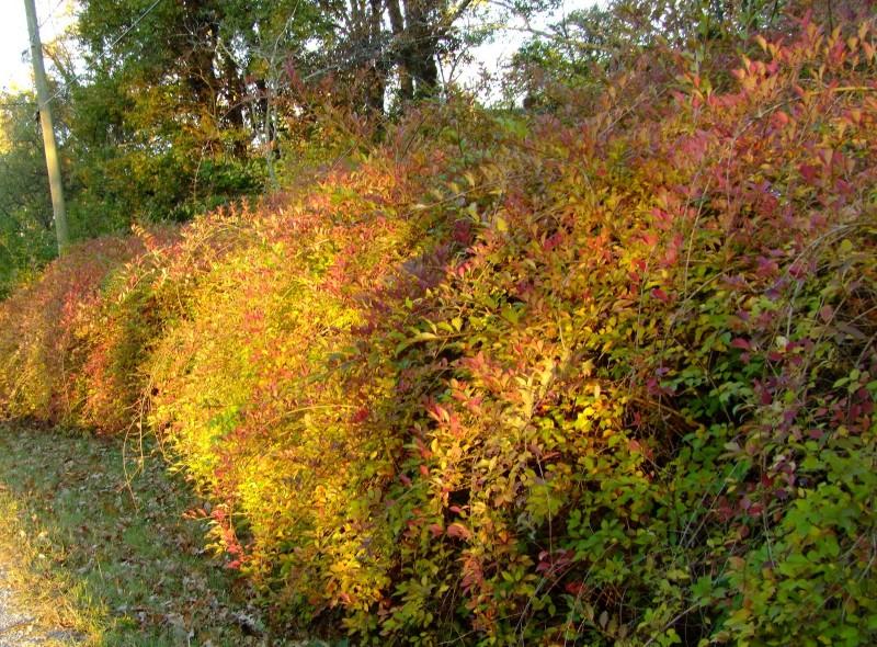 Фото 6: Кусты магонии осенью