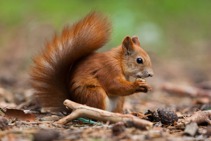 Фото 17: Кедровые орехи - лакомство белок