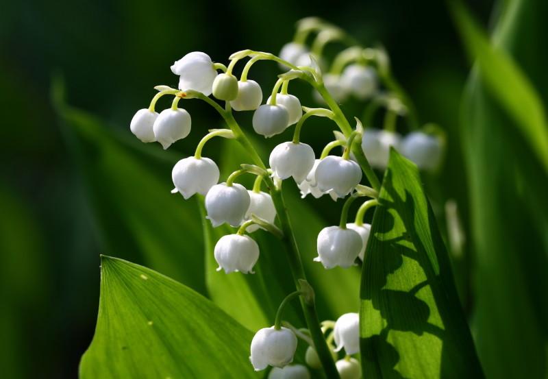 Фото 29: Цветы ландыши