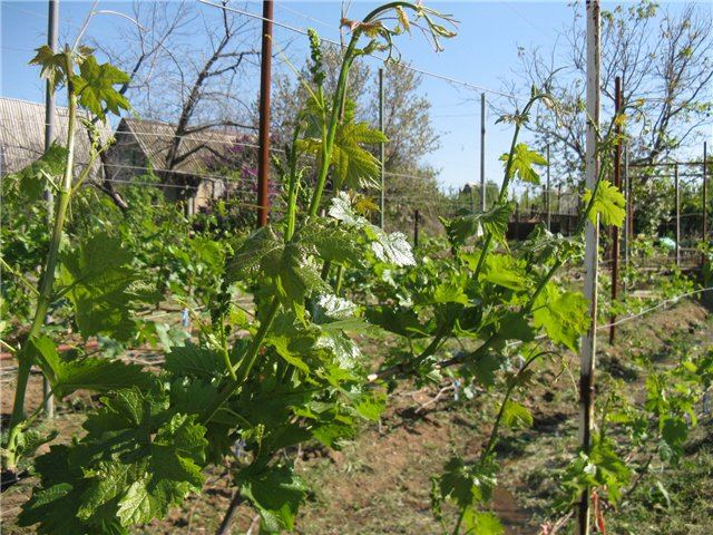Фото 11: Листья винограда
