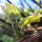 Фото 104: Появление листьев на черенке