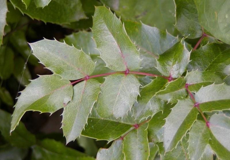 Фото 12: Листья магонии