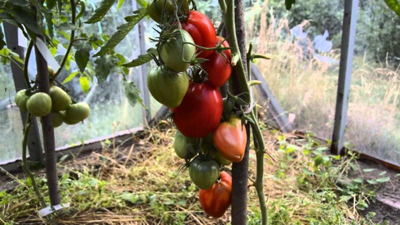 Фото 14: сорт томатов Мазарини F1