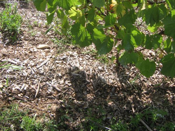 Фото 14: Мульчирование винограда