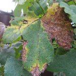 Фото 93: Мильдью винограда