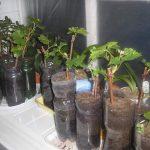 Фото 106: Виноград как вырастить из черенков