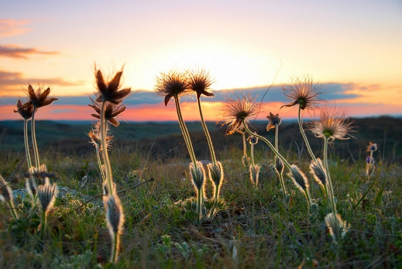 Фото 13: Отцветание сон-травы