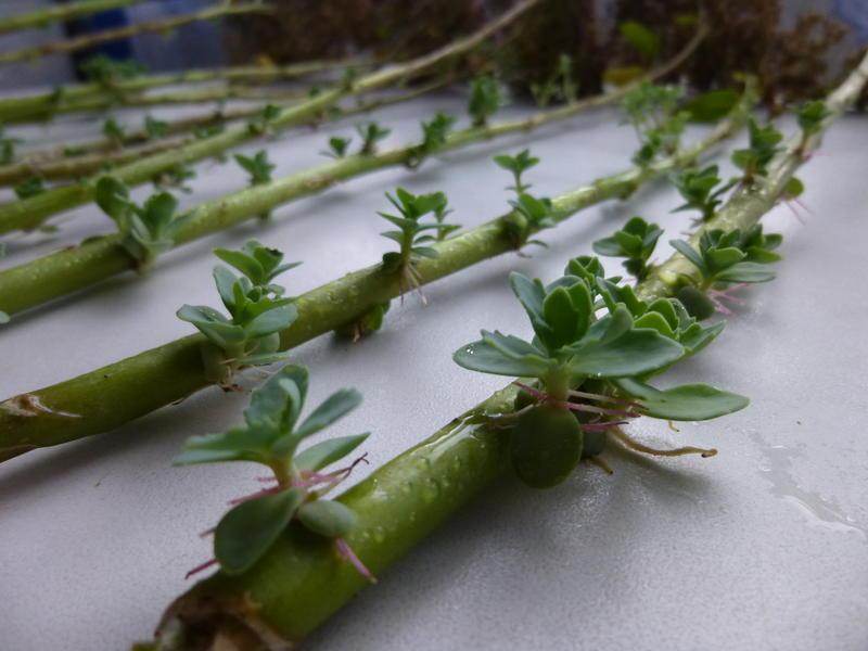 Фото 12: Появление новых ростков на стебле