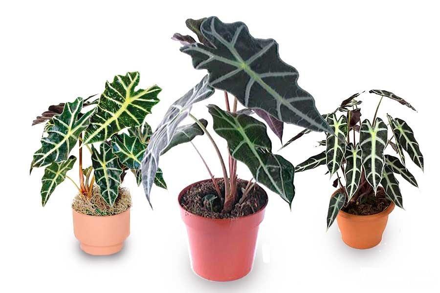 Пересаженные комнатные растения