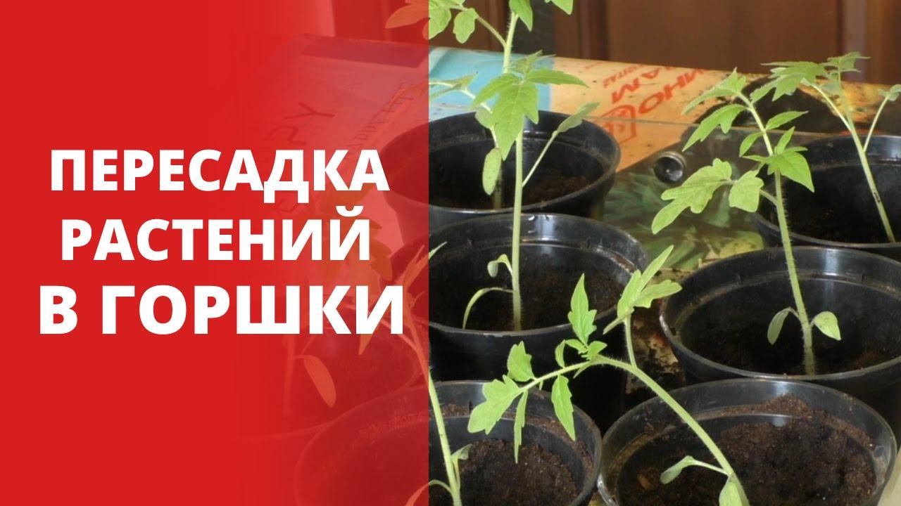 Фото 7: Пересадка растений в горшки