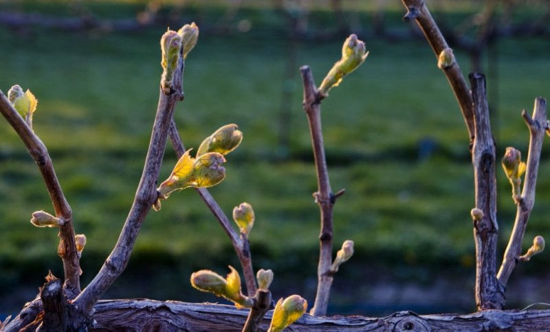 Фото 17: Почки винограда