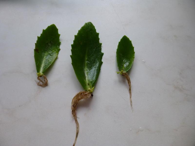 Фото 13: Размножение листочками седума