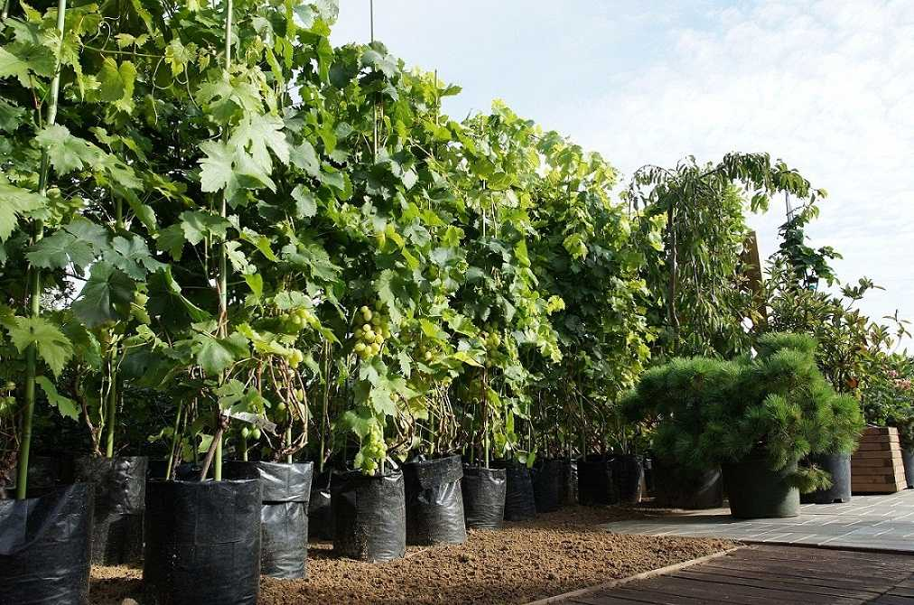 Как вырастить саженцы винограда