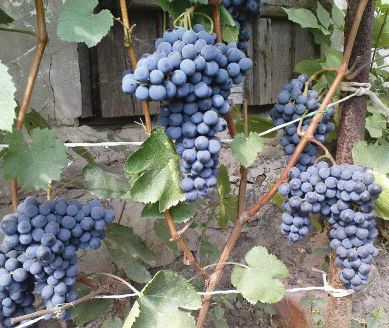 Фото 23: Виноград Сапревари Северный