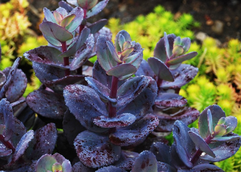 Фото 27: Sedum sunsparklerr blue pearl