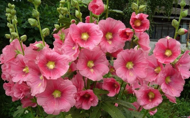 Фото 31: Шток-роза